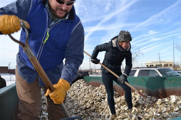 A volunteer shovels oysters collected through the VCU Rice Rivers Center Virginia Oyster Shell Recycling Program.